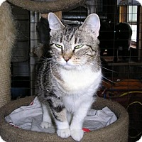 Domestic Shorthair Cat for adoption in Eldora, Iowa - Tressa