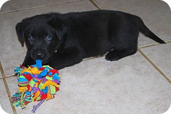 Labrador Retriever/German Shepherd Dog Mix Puppy for adoption in Minneola, Florida - Diesel