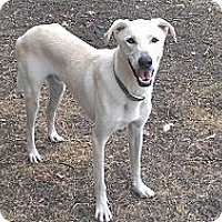 Great Pyrenees/Greyhound Mix Dog for adoption in Eddy, Texas - Jax
