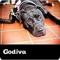 Adopt A Pet :: GODIVA - Phoenix, AZ