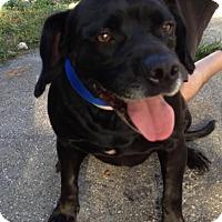 Labrador Retriever Mix Dog for adoption in Key Biscayne, Florida - Gordo