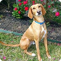 Adopt A Pet :: Joela - Houston, TX