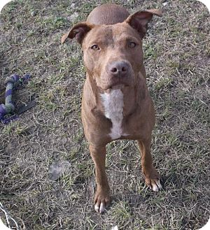 Pit Bull Terrier Dog for adoption in Bonifay, Florida - Rudolph