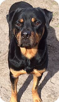 Rottweiler Dog for adoption in hawthorne, Florida - Rock