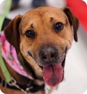 Plott Hound/Labrador Retriever Mix Dog for adoption in Toledo, Ohio - Kate