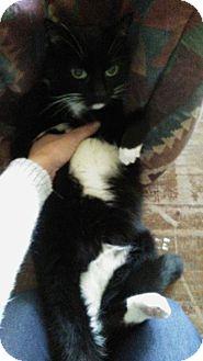 Domestic Shorthair Cat for adoption in Warren, Michigan - Romeo (declawed)