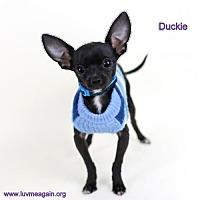 Adopt A Pet :: Duckie - Bloomington, MN