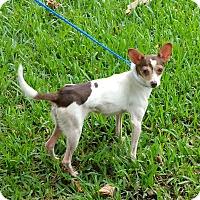 Italian Greyhound Mix Dog for adoption in Houston, Texas - FLACO