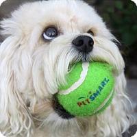 Adopt A Pet :: Bella - El Segundo, CA