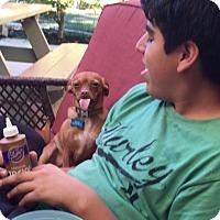 Adopt A Pet :: Brownie - Vacaville, CA