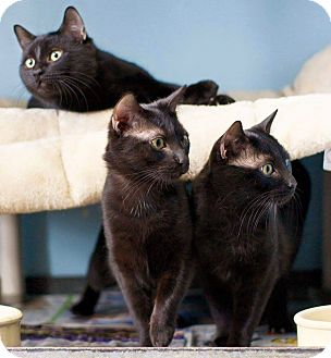 Domestic Shorthair Cat for adoption in Warren, Michigan - The Brothers 3 at Hazel Park