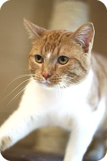 Domestic Mediumhair Cat for adoption in South Haven, Michigan - Oliver
