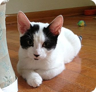 Domestic Shorthair Kitten for adoption in Cleveland, Ohio - Notch