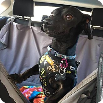 Dachshund Mix Dog for adoption in Houston, Texas - Barney