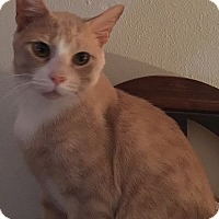 Domestic Shorthair Cat for adoption in Tampa, Florida - Chandler