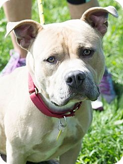 Terrier (Unknown Type, Medium)/Pit Bull Terrier Mix Dog for adoption in Cleveland, Ohio - Moose