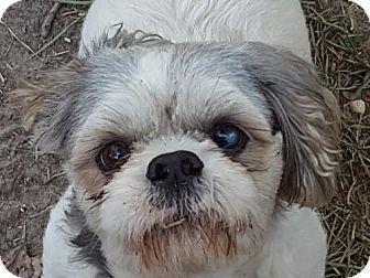 Shih Tzu Mix Dog for adoption in Providence, Rhode Island - Barny LB CP