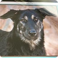 German Shepherd Dog Puppy for adoption in Los Angeles, California - KUMA VON KOBLenz