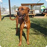 Redbone Coonhound Dog for adoption in Rosenberg, Texas - MINNIE