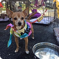 Chihuahua Mix Dog for adoption in Pompano Beach, Florida - Chi Chi
