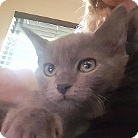 Russian Blue Kitten for adoption in Burbank, California - Kobe