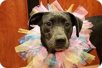 Labrador Retriever Mix Puppy for adoption in Youngsville, North Carolina - Amy
