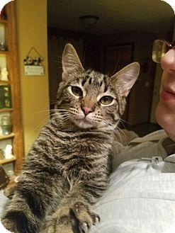 American Shorthair Kitten for adoption in Lyons, Illinois - Tobias