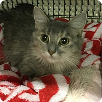 Domestic Longhair Cat for adoption in Lexington, Kentucky - Sissy