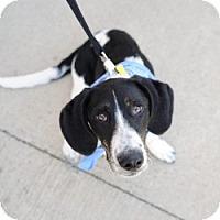 Adopt A Pet :: Bandit - Justin, TX