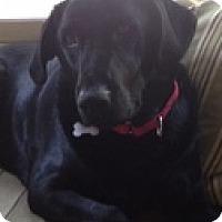 Adopt A Pet :: Lady Chloe - Torrance, CA