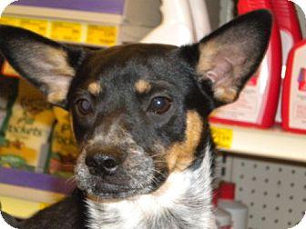 Cattle Dog Mix Dog for adoption in Fresno, California - Chealsea