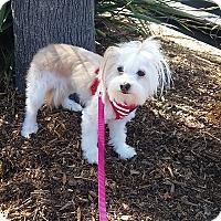 Adopt A Pet :: Pika - Santa Ana, CA