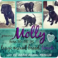 Adopt A Pet :: Molly2 - Bloomington, MN