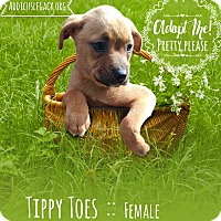 Adopt A Pet :: Tippy Toes - West Hartford, CT