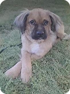 Boxer/Collie Mix Dog for adoption in Allentown, Virginia - Luki