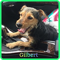 Adopt A Pet :: Gilbert - Hollywood, FL