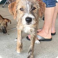 Adopt A Pet :: Maple = adoption pending - Centreville, VA