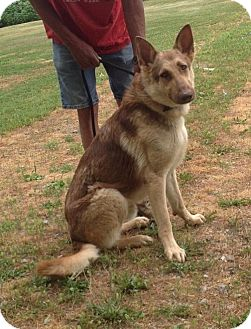 German Shepherd Dog Dog for adoption in Texico, Illinois - Roscoe