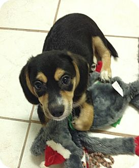 Yorkie, Yorkshire Terrier/Beagle Mix Puppy for adoption in San Ysidro, California - Stitch