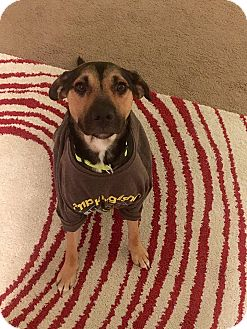 Shepherd (Unknown Type)/Hound (Unknown Type) Mix Dog for adoption in Arlington, Massachusetts - Looper