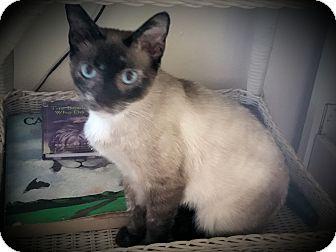 Siamese Cat for adoption in Fairborn, Ohio - Bellamy