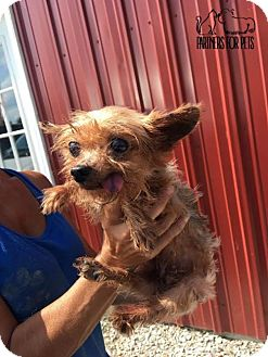 Yorkie, Yorkshire Terrier Dog for adoption in Troy, Illinois - Macbeth Fostered (Watson)