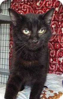 Domestic Shorthair Kitten for adoption in Grants Pass, Oregon - Lars