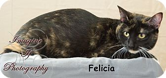 Domestic Shorthair Cat for adoption in Oklahoma City, Oklahoma - Felicia