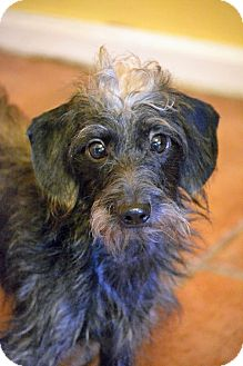 Dachshund/Poodle (Miniature) Mix Dog for adoption in Hagerstown, Maryland - Copper