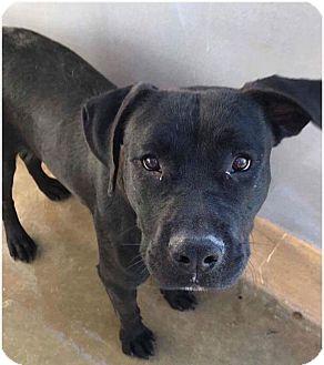 Labrador Retriever/American Bulldog Mix Dog for adoption in Staunton, Virginia - Uno
