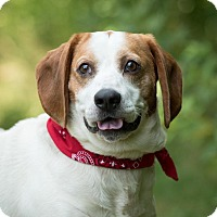 Basset Hound/Beagle Mix Dog for adoption in Scituate, Massachusetts - Benedict
