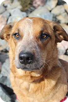 Australian Cattle Dog Mix Dog for adoption in Westminster, Colorado - Bonnie
