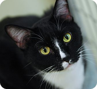 Domestic Shorthair Cat for adoption in Grayslake, Illinois - Mattie