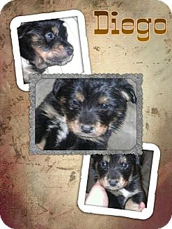 Shar Pei/Rottweiler Mix Puppy for adoption in Scottsdale, Arizona - Diego